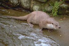 691082 Otter In Spey Valley Highland Of Scotland A4 Photo Print