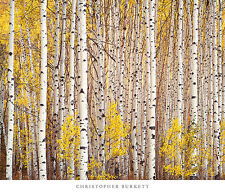 Aspen Grove Colorado Christopher Burkett trees yellow leaves art print poster