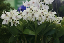 Orchid plants Dendrobium Paul Paquette (silver wings x stephen batchelor)