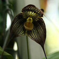 FRESH,25pcs Peru Monkey Face Orchid Seeds*UK SELLER*
