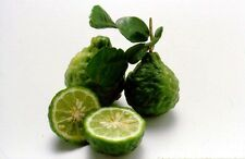 10 Seeds - THAI KAFFIR LIME, Leech Lime (Citrus Hystrix) MA-GROOD - US Seller