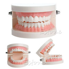 New Dental Teaching Study Adult Standard Typodont Demonstration Teeth Model