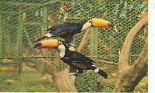 SAN DIEGO,CALIFORNIA-ANIMAL COLOR SERIES-TOCO TOUCAN-(BIRDS-471)