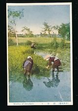 Japan Gathering rice plants c1920/30s?? PPC social history