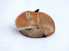 Framed Print - Red Fox Sleeping in the Snow (Wild Animal Picture Poster Art)