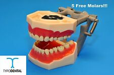 Dental Typodont Model FG3 / AG3 works with Frasaco brand teeth (5 free molars)