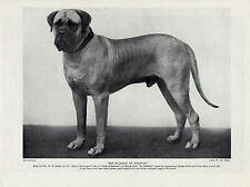 MASTIFF IMPRESSIVE IMAGE OF A WINNING NAMED DOG OLD ORIGINAL DOG PRINT FROM 1934