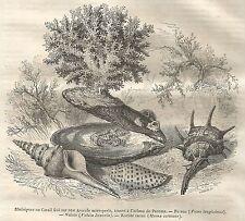 A5406 Madrepore o Coralli - Xilografia - Stampa Antica del 1850 - Engraving