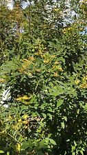 Pigeon Pea - Cajanus cajan - 30 Seeds! - Perennial Vegetable