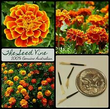 10 FRENCH MARIGOLD SEEDS (Tagetes Patula) Beautiful Garden Annual Flowers