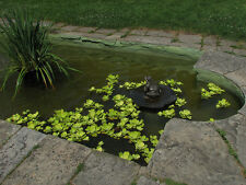 LIVE Water Lettuce 5 PLANTS  please read entire listing free shipping