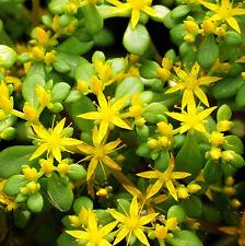 Sedum Lineare Seed 50 Seeds Emarginate Stonecrop Crassulaceae Flower Garden A201