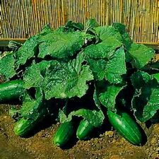 20 Spacemaster Cucumber Seeds! Compact and Delicious! Comb. S/H! SEE OUR STORE!