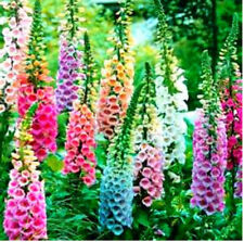 200 Mixed Foxglove Seeds Easy To Care For Hardy And Adaptable Blooms From Summer
