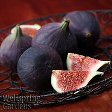 Hardy Fig Fruit Tree Black Mission Plant Fanciscan Californian New