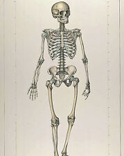 Vintage Medical Anatomy Chart Skeletal Skeleton Illustration Canvas Art Print