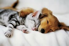 """Dog and Cat cuddling photography poster 24x36"""" Cuddles puppy and kitte"""