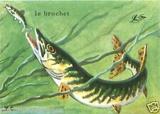 CARD BON POINT Grand brochet Esox lucius Northern Pike POISSON FISH 60s