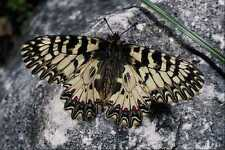432062 Southern Festoon Zerynthia Polyxena A4 Photo Print