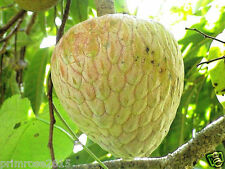 Jamaican Custard Apple /Sugar apple Fruit  - Annona reticulata 20 seeds pack
