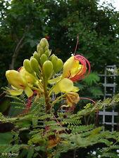 Caesalpinia gilliesii - Paradiesvogelbusch - exotisch schöner Zierstrauch !