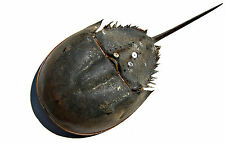 Framed Print - Atlantic Horseshoe Crab (Picture Fish Dolphin Whale Shark Art)