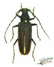 real beetle Hoplocerambyx aramis SET x1 Malaysia scarce specimen pinned artwork