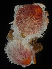 Spondylus americanus 179mm CHOICE STRAWBERRY RED CLUSTER DENSE SPINES BEAUTY