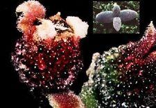 »» Extravagant und selten: Kristall-Eisblume «« / Samen