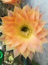Pianta grassa ECHINOPSIS Fiore Arancione, piante grasse succulente catcus