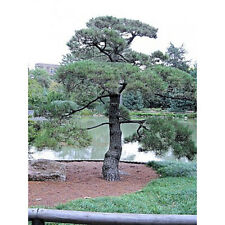 5 Japanese Black Pine Tree Seeds - Pinus Thunbergii