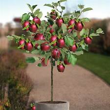 Dwarf Apple Tree Seeds - RED SPUR DELICIOUS - Miniature - Gmo Free - 20 Seeds