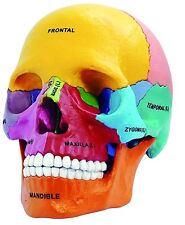 4D DIDACTIC EXPLODED SKULL 1:2 Head human Anatomy 3D Puzzle Model Medical NEW