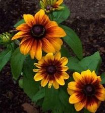 Gloriosa Daisy- 200 Seeds - 50 % off sale