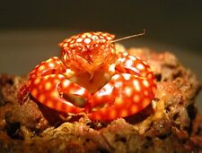 """10 Red spotted Porcelain crabs 1"""" FREE SHIPPING LIVE MARINE FISH CORAL SALTWATER"""