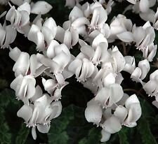 Cyclamen hederifolium Album   10 seeds