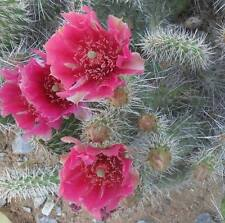 Winter Hardy Miniature Prickly Pear Cactus Dark Pinkish Red Flowers!!!