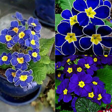 Lots 100pcs Blue Evening Primrose Seeds Potted Pansy Flower Seeds Plants Seeds