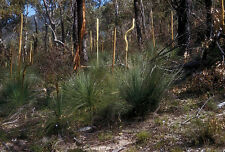 Dwarf Grass Tree (Xanthorrhoea resinosa) - Seed