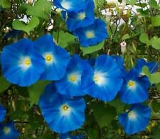 MORNING GLORY - IPOMOEA - HEAVENLY BLUE - 400 SEEDS