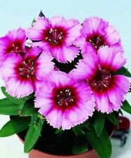 40+ Vampire Dianthus / Fragrant Long Lasting / Perennial Flower Seeds
