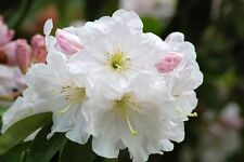 50 FORTUNE RHODODENDRON Fortunei Shrub Rose Pink Mauve White Flower Seeds + Gift