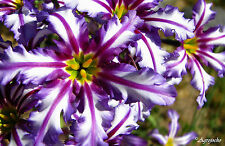 Leucocoryne vitatta GLORY OF THE SUN LILY . . . 12 Bulb SEEDS