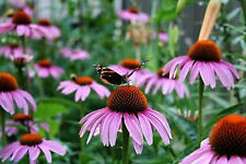PURPLE CONEFLOWER SEEDS - BULK