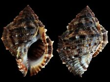 Bufonaria crumena Black Form - Shells from all over the World