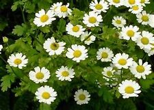 Feverfew (Chrysanthemum Parthenium)- 100 seeds