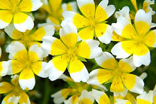 POACHED EGG PLANT - Limnanthes douglasii - 250 seeds - ANNUAL FLOWER