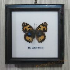 Real Butterfly in wooden frame For collection, Student, gift#The Yellow Pansy(F)