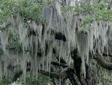 SPANISH MOSS 10 lb FRESH LIVE AIR PLANT FOR GROWING, CRAFTS & FLOWER ARANGEMENTS