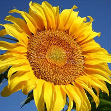 Free Shipping 20GIANT SUNFLOWER 90% germination Seeds  Little Care TT131